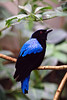 Elfenblauvogel / Asian Fairy-bluebird / Irena puella