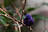 Purpurnaschvogel / Purple Honeycreeper / Cyanerpes caeruleus