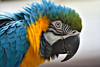 Gelbbrustara / Blue-and-yellow Macaw / Ara ararauna