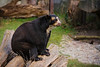 Brillenbär / Spectacled bear / Tremarctos ornatus