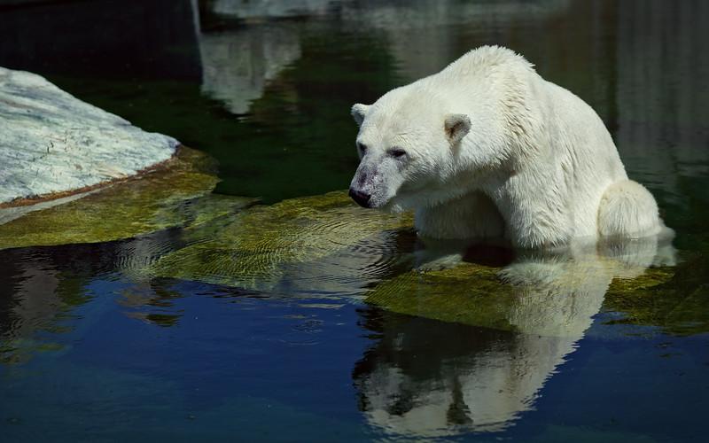 Eisbär / Polar bear / Ursus maritimus