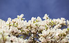 Magnolien / Magnolia / Magnoliaceae