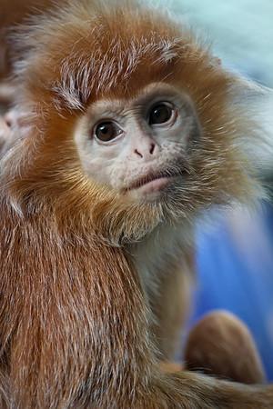 Haubenlangur / Ebony leaf monkey / Trachypithecus auratus