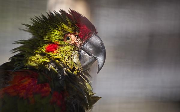 Rotohrara / Red-fronted Macaw / Ara rubrogenys