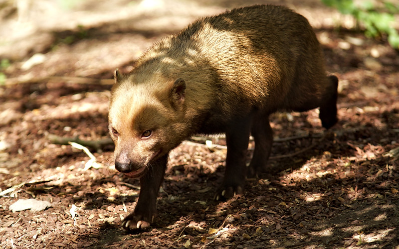 Waldhund / Bush Dog / Speothos venaticus