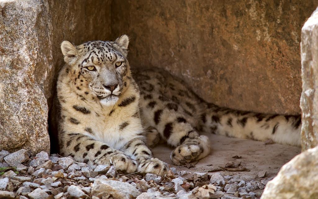 Schneeleopard / Snow leopard / Panthera uncia