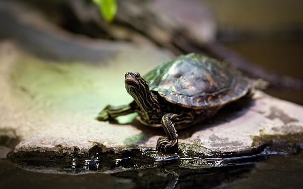 Gelbtupfen-Höckerschildkröte / Yellow-blotched map turtle / Graptemys flavimaculata