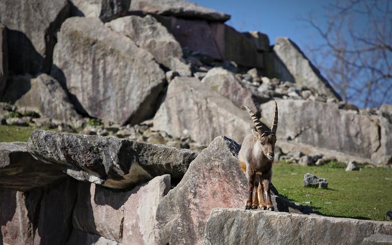 Alpensteinbock / Alpine ibex / Capra ibex
