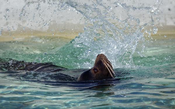 Kalifornischer Seelöwe / California sea lion / Zalophus californianus