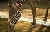 Grevyzebra / Grévy's zebra / Equus grevyi