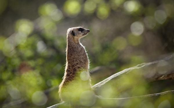Erdmännchen / Meerkat / Suricata suricatta