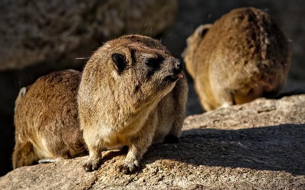 Kap-Klippschliefer / Rock hyrax / Procavia capensis