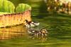 JOOCO-48 - Entenkücken
