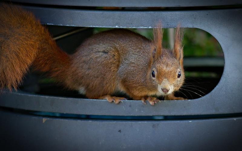 Eichhörnchen / Eurasian red squirrel / Sciurus vulgaris