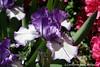 #3869 Iris, purple
