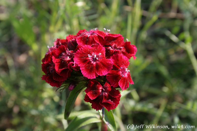 #4178 wildflower, Sweet William