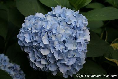 #4595 Hydrangea