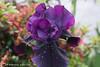IMG_0741_iris_purple