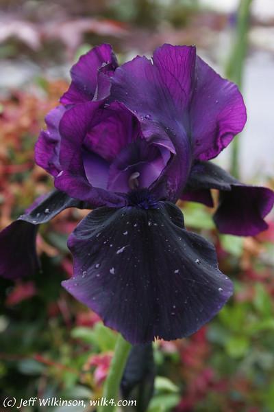 IMG_0742_iris_purple