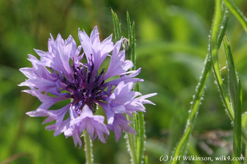 IMG_4187 purple corn flower blossum