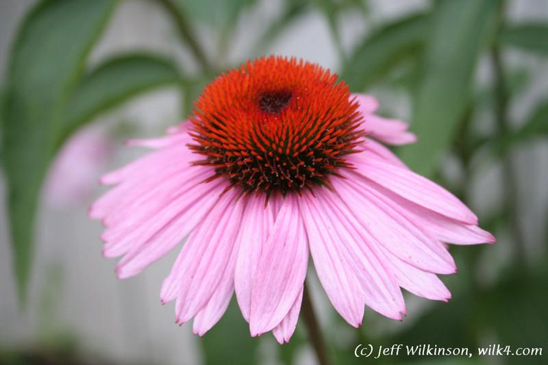 #4601 Echinacea, Coneflower