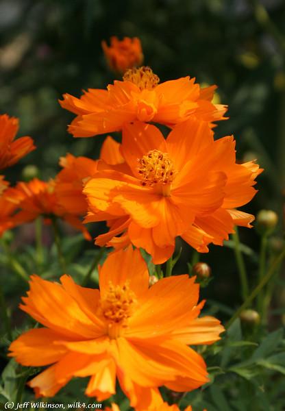 IMG_5240, Orange Cosmos (cosmos sulphureus)<br /> Family: Asteraceae/Compositae (aster/daisy Family)