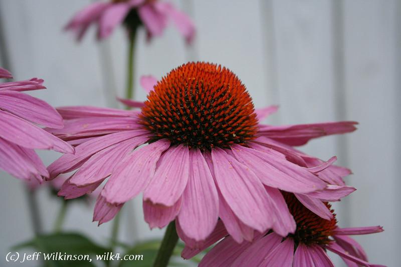 #4597 Echinacea, Coneflower