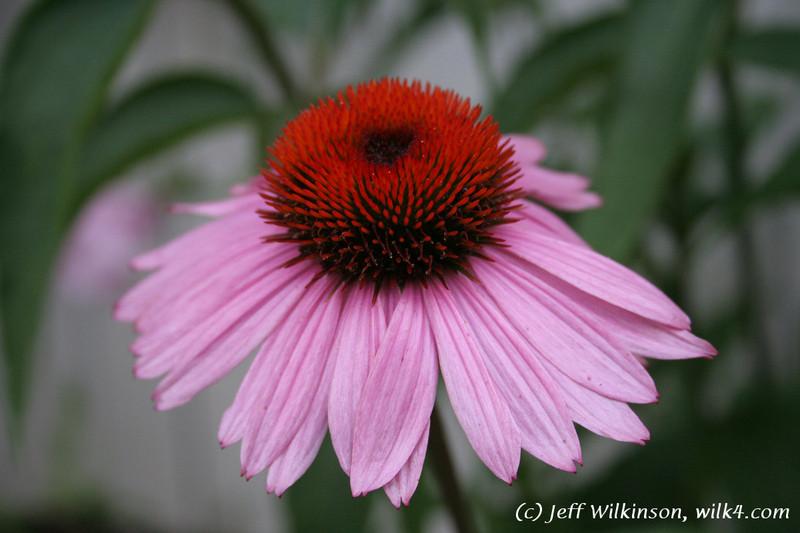 #4600 Echinacea, Coneflower