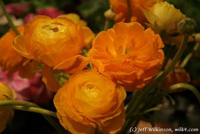 #3824 Ranunculus