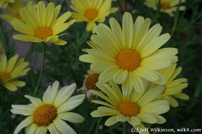 #4306 yellow daisy