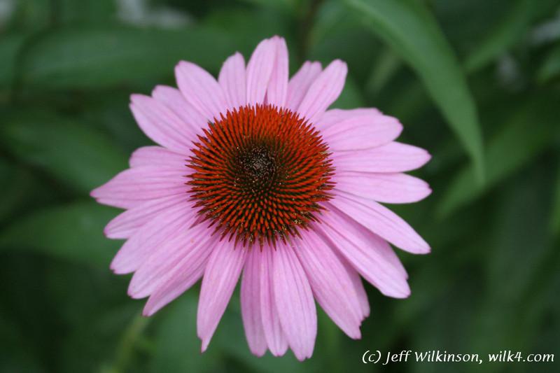 #4598 Echinacea, Coneflower
