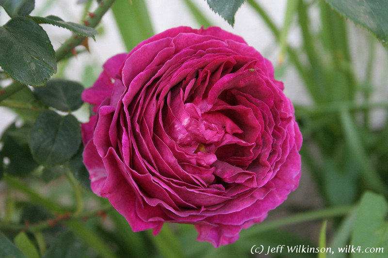 #4195 Rose