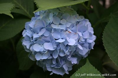 #4591 Hydrangea