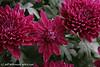 #0212 Chrysanthemum (Mum)