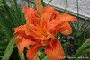 "#4489 ""orange double day-lily""  <br /> Hemerocallis fulva 'Kwanso' or Hemerocallis 'Kwanso'"