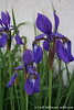 #4194 Siberian Iris