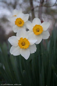#0382 Daffodils
