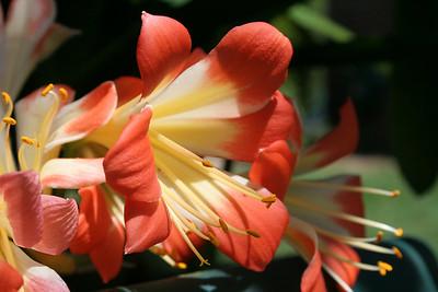 Wilk4 Floral 2 Clivia
