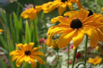 IMG_8044-flower-daisy-or-black-eyed-susan
