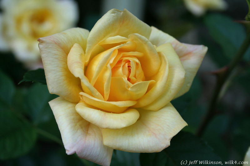 IMG_7847-flower-rose-yellow