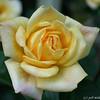 IMG_7847-flower-rose-yellow