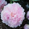 IMG_7849-flower-peony