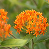 #7865, unknown orange flower