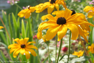 IMG_8057-flower-daisy-or-black-eyed-susan
