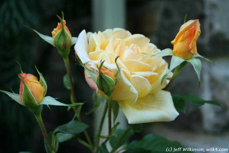 IMG_7871-flower-rose-yellow