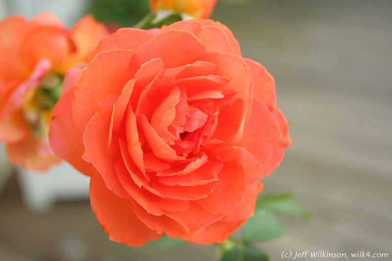IMG_8015-flower-rose-red