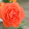 IMG_8015-flower-rose-red