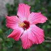 Hibiscus, pink