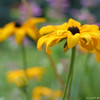 IMG_8070-flower-daisy-or-black-eyed-susan
