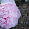 IMG_7852-flower-peony